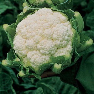 Cauliflower Amazing
