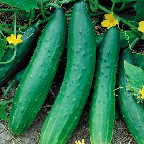Cucumber Burpless Garden Sweet