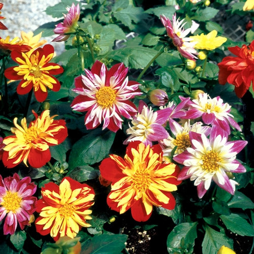 Dahlia Harlequin Mix
