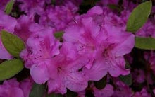 Load image into Gallery viewer, azalea x 'encore' AUTUMN ROYALTY