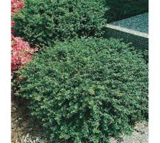 ilex crenata 'soft touch' SOFT TOUCH HOLLY