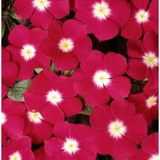 Vinca Pacifica Cherry Red Halo