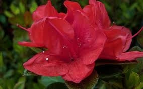 azalea x 'encore' AUTUMN RUBY