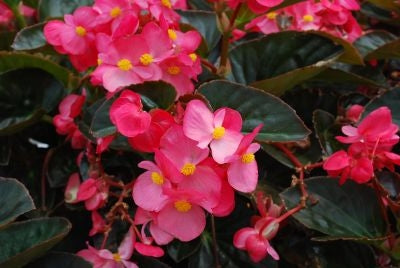 Begonia Senator Deep Rose (Bronze Leaf)