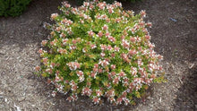 Load image into Gallery viewer, abelia grandiflora 'canyon creek' CANYON CREEK ABELIA