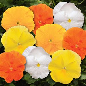 Matrix Daffodil Mixture Pansy