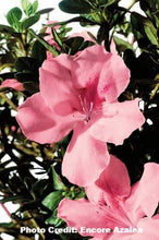 Load image into Gallery viewer, azalea x 'encore' AUTUMN DEBUTANTE