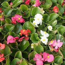 Begonia Ambassador Mix (Green Leaf)