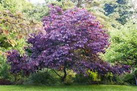 Redbud Cersis Canadensis Forest Pansy Forest Pansy Redbud