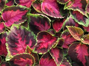 Kaleidoscope Rose Coleus