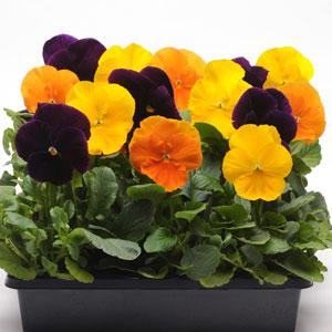 Pansy Matrix Harvest Mix