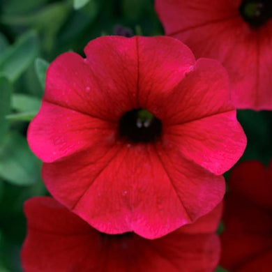 Calibrachoa SuperCal Royal Red