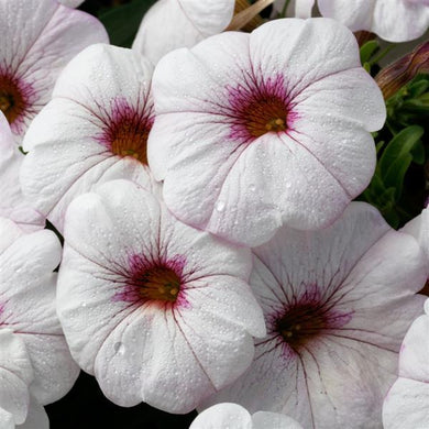 Calibrachoa SuperCal Snowberry White