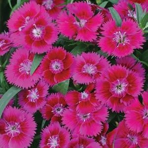 Dianthus Ideal Select Violet
