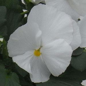 Pansy Majestic Giants II Clear White