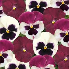 Pansy Matrix Raspberry Sundae Mix