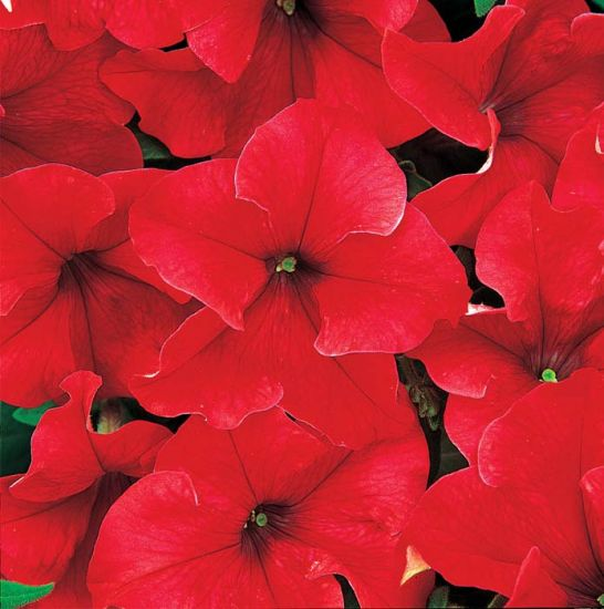 Petunia Dreams Red