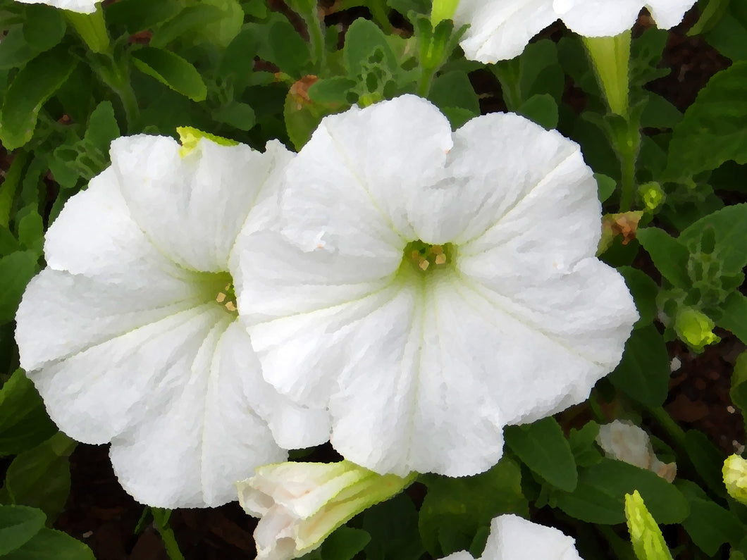Petunia Dreams White