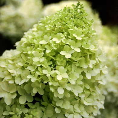 Hydrangea paniculata 'lime light' LIME LIGHT HYDRANGEA