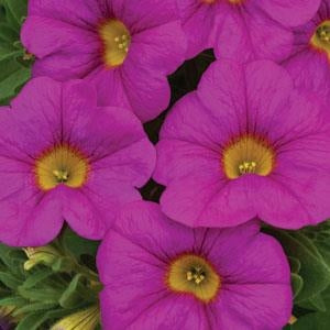 Calibrachoa SuperCal Pink