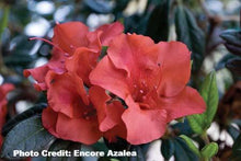 Load image into Gallery viewer, azalea x 'encore' AUTUMN EMBERS