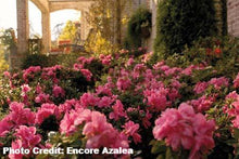 Load image into Gallery viewer, azalea x 'encore' AUTUMN EMPRESS