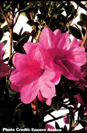 azalea x 'encore' AUTUMN EMPRESS