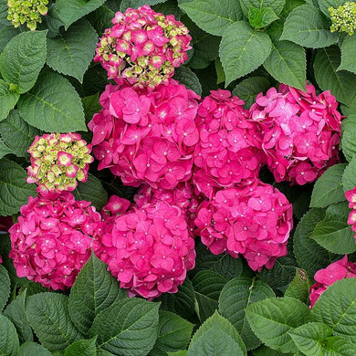 hydrangea macrophylla 'crush' ENDLESS SUMMER CRUSH HYDRANGEA