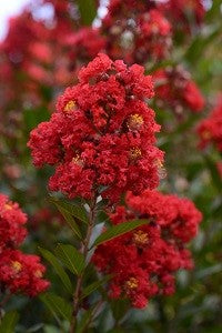 lagerstroemia 'PIILAG B5' ENDURING RED CRAPE MYRTLE
