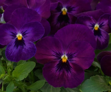 Viola Colormax Purple Glow