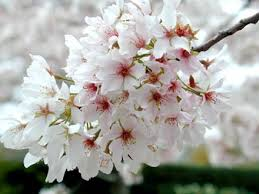 prunus yedoensis 'Yoshino' YOSHINO FLOWERING CHERRY