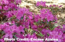 Load image into Gallery viewer, azalea x 'encore' AUTUMN AMETHYST
