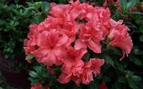 azalea x 'encore' AUTUMN PRINCESS