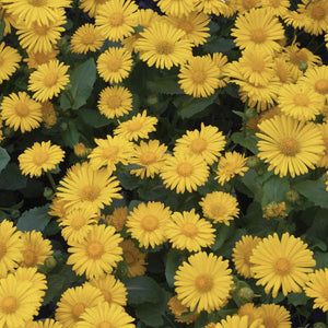 Doronicum Leonardo Compact Yellow