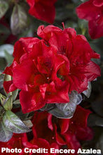 Load image into Gallery viewer, azalea x 'encore' AUTUMN FIRE