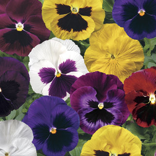 Pansy Colossus Blotch Mix