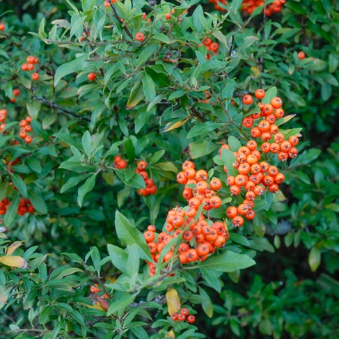 pyracantha angustifolia 'Gnome' GNOME PYRACANTHA