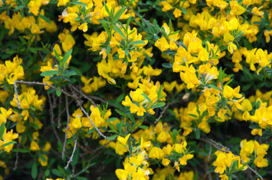 genista pilosa 'Gold Flash' GOLD FLASH BROOM