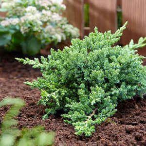 juniperus procumbens 'Green Mound' GREENMOUND JUNIPER