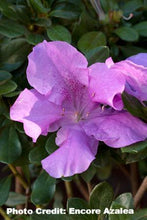 Load image into Gallery viewer, azalea x 'encore' AUTUMN LILAC