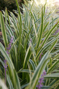 liriope muscari 'Marant' MARC ANTHONY MONKEY GRASS