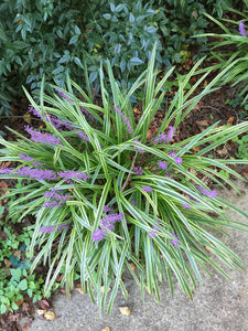 liriope varigated 'Monkey Grass' VARIGATED LIROPE MONKEY GRASS