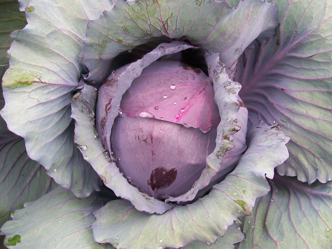 Early Red Acre Cabbage
