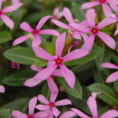 Catharanthus Soiree Kawaii Light Purple