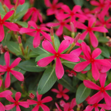 Catharanthus Soiree Kawaii Red Shades