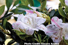 Load image into Gallery viewer, azalea x 'encore' AUTUMN STARLITE