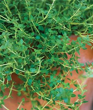 Thyme Green