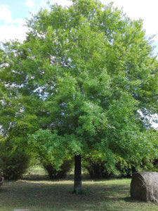 OAK quercus phellos WILLOW OAK