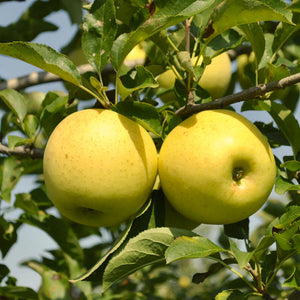 Semi Dwarf Yellow Delicious Apple Tree