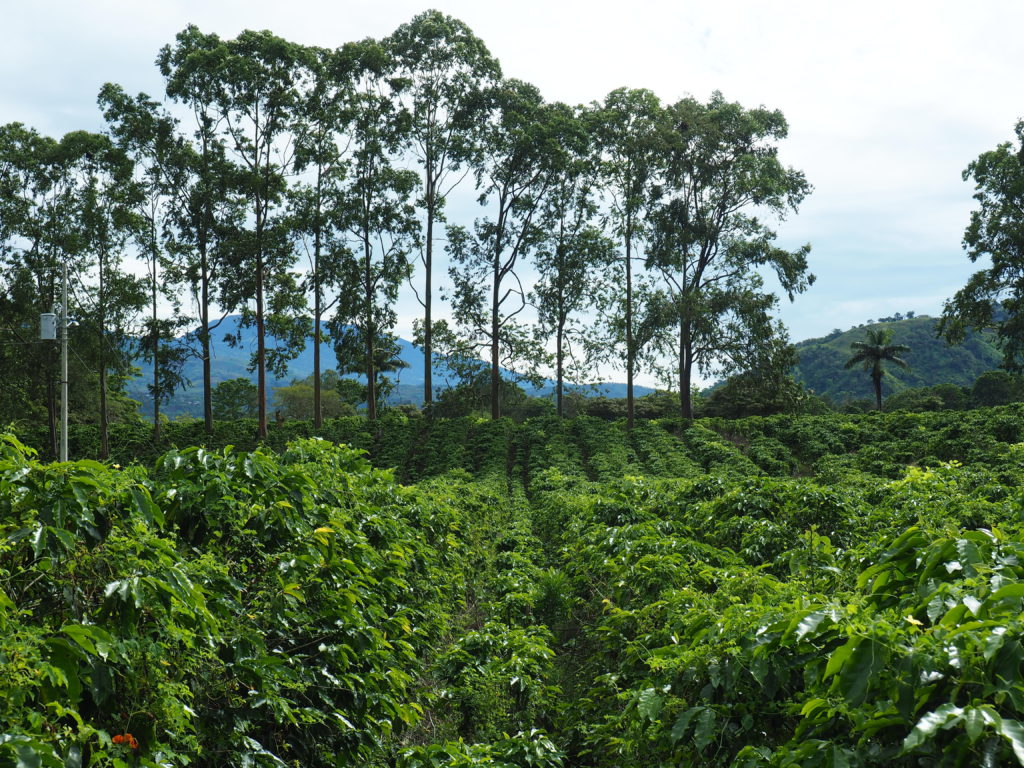 costa rica coffee field
